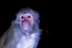 Monkey se reposer sur la barrière pendant la nuit sur un fond noir dans Rishikesh, Uttharakand, Inde Image stock