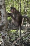 Monkey se reposer sur un arbre dans le palétuvier image libre de droits