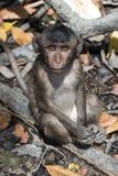 Monkey se reposer sur un arbre dans le palétuvier photo stock