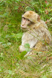 A monkey is searching. For food Stock Photography