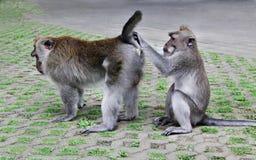 Monkey searching fleas Stock Photos