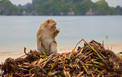 Monkey searching for food Stock Images