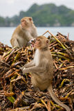 Monkey searching for food Stock Photography