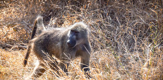 Monkey searching. Through tall grass in South Africa Stock Images