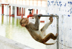 Monkey searching water Royalty Free Stock Image