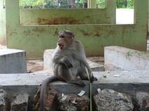 A monkey seating on a floor at zoo. This photo is from zoo of ooty, while i have visit ooty zoo Royalty Free Stock Image