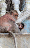 Monkey See Royalty Free Stock Image