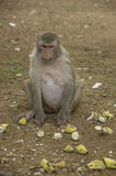 Monkey see food on ground Royalty Free Stock Photo