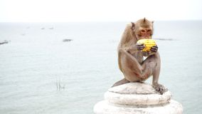 Monkey. Seeks and eating corn with sea background Royalty Free Stock Photography