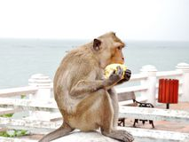 Monkey. Seeks and eats corn with sea background Royalty Free Stock Image