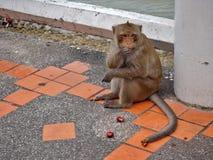Monkey. Seeks and eats food on ground Royalty Free Stock Image