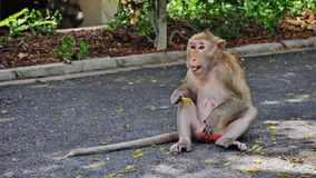 Monkey. Seeks and eats food on the ground in thai temple Stock Photos