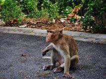 Monkey. Seeks and eats food on the ground in thai temple Stock Photography