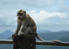 Monkey. Seen in the hills, Mauritius Royalty Free Stock Images