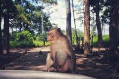 Monkey sentarse en el frente del coche en el salvaje fotografía de archivo libre de regalías