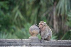 Monkey sentarse en la pared, mono Tailandia Imagenes de archivo
