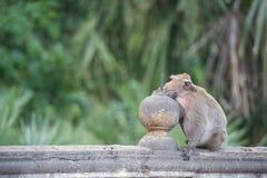 Monkey sentarse en la pared, mono Tailandia Fotos de archivo