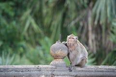 Monkey sentarse en la pared, mono Tailandia Fotos de archivo libres de regalías