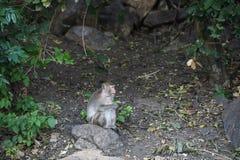 Monkey sentarse en la piedra en el bosque, mono Tailandia Imagenes de archivo