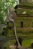 Monkey sentarse en la puerta en el bosque sagrado del mono en Ubud Imágenes de archivo libres de regalías
