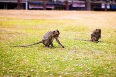 Monkey sentarse en la tierra, comiendo el mango Imagenes de archivo