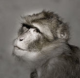 Monkey sepia portait Royalty Free Stock Photography