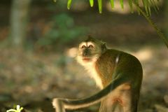 Monkey Series. Monkey – hiding under shade royalty free stock images