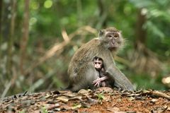 Monkey Series. Monkey – mother and baby stick like super-glue stock images