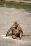 Monkey in Shanghai Zoo. I took the picture in Shanghai Zoo. The monkey is sitting for rest Stock Photos