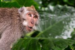 Monkey is shocked and surprised. Facial emotion of animal royalty free stock photos