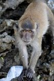Macaque Intrigued by the Camera on a beach of Thailand Royalty Free Stock Image