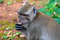 Quiet Macaque Tasting a Fruit Royalty Free Stock Photography