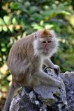 Worried Macaque sat on a Rock in Thailand Stock Images