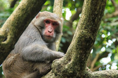 Monkey in Shoushan, Monkey Mountain in Kaohsiung city, Taiwan.  Royalty Free Stock Images