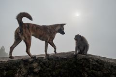 Monkey shouting on dog because she is frightened. Enemies in wild life Stock Photo