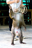 Monkey show Stock Photos