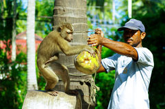 Monkey show, The monkey spinning the coconut in Samui Island, Thailand Royalty Free Stock Photos