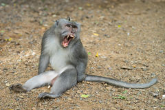 Monkey showing fangs. A monkey sitting on the ground showing large tusks Royalty Free Stock Photos