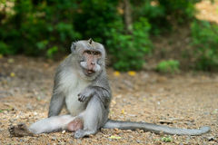 Monkey showing fangs. A monkey sitting on the ground showing large tusks Royalty Free Stock Photography