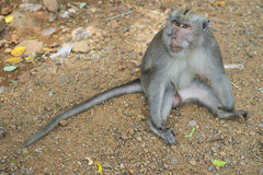 Monkey showing fangs. A monkey sitting on the ground showing large tusks Royalty Free Stock Photo