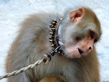 Monkey Shyness Royalty Free Stock Photo