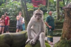 Monkey SID. Forest eyecontact animal royalty free stock photography