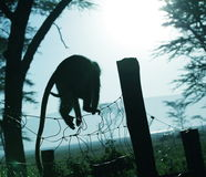 Monkey silhouette Stock Photo