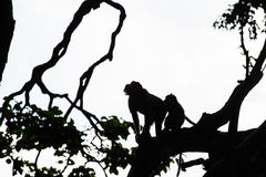 Monkey silhouette on jungle trees into the Monkey Forest in Ubud, Bali Royalty Free Stock Images