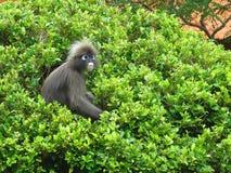 Monkey, singe foncé, Langur, berjaya, langkawi, Malaisie image libre de droits