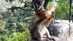 Monkey sipping soft drinks. A monkey looks funny while it sips soft drink in a forest area Stock Photos