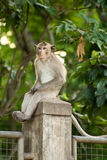 Monkey sit on the column Royalty Free Stock Images