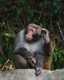Monkey sit on rock and scratch its head at zhangjiajie national park , China Royalty Free Stock Photography