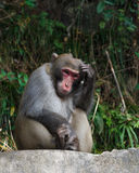 Monkey sit on rock and scratch its head at zhangjiajie national park , China Royalty Free Stock Photos
