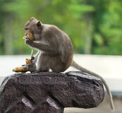 Monkey sit on a stone Stock Photo